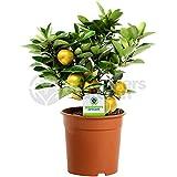 Citrus Calamondín - 1 Planta - Planta Árbol Viva en Maceta para Interior Hogar/Oficina