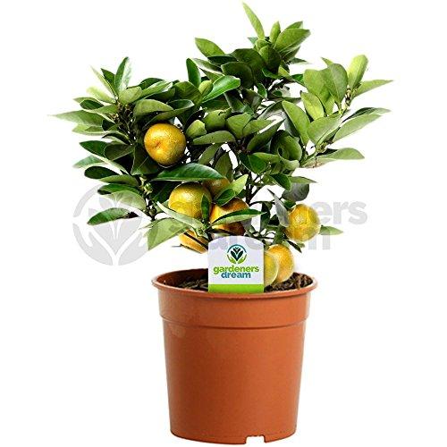 Calamondin Orangenbaum - 1 Zimmerpflanze – Zierpflanze fürs Haus oder Büro