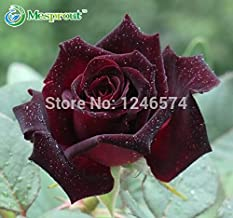 Black Baccara Rose Seeds 50 Seeds Black Rose seeds Flower seeds Bonsai Plant Flower #32306051115ST