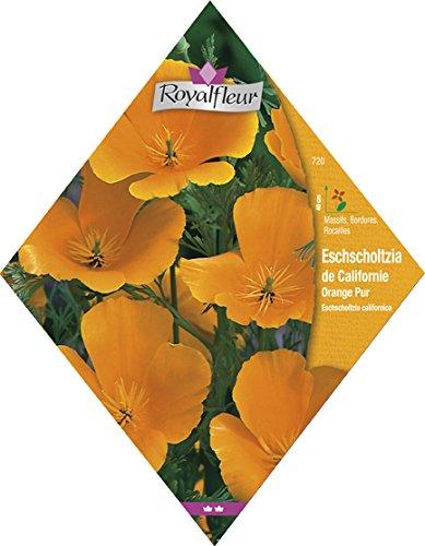 Royalfleur PFRV00720 Graines de Eschscholzia de Californie Orange Pur