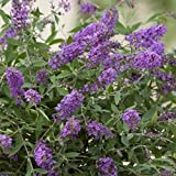 """Buddleja davidii""""Lilac Turtle""""   Cespuglio delle farfalle viola resistente   Arbusto ornamentale fiorente   Altezza 15-20 cm   Vaso Ø 12 cm"""