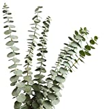 Ramas de eucalipto Real secas, 12 Tallos, Hojas de eucalipto Natural para arreglos Florales de Boda decoración del hogar