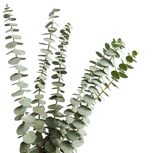 Beau Jour Dried Real Eucalyptus Branches 12 Stems, Natural Eucalyptus Leaves for Arrangement Wedding Home Decor