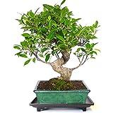 Planeta Huerto Bonsái Plato bonsáis de plástico con pies 22x15x3 cm