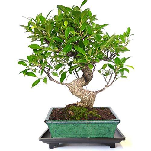 Planeta Huerto Bonsái Plato bonsáis de plástico con pies 18x12x3 cm