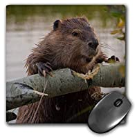 3dRose Mouse Pad USA, Wyoming, Grand Teton Np, Beaver Gnawing Through an Aspen, 8 x 8' (mp_260635_1) [並行輸入品]