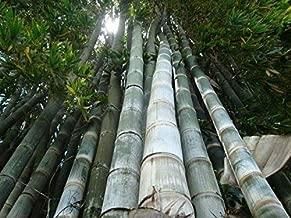 dendrocalamus giganteus bamboo