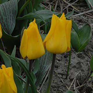 6 GREIGII TULIP BULBS - GOLD WEST - ORDER for FALL PLANTING