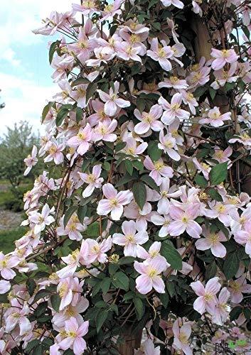 Clematis Pflanzen Kletterpflanzen winterhart Waldrebe im Topf viele Sorten (Mayleen)