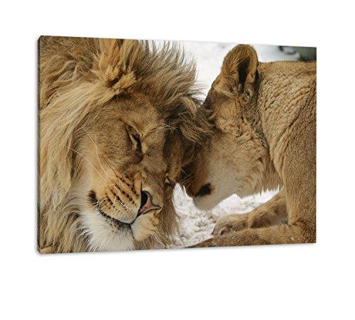 Best for Home Schönes Bezauberndes kuschelndes Löwenpaar in Afrika in der Savanne! farbig, kein Poster oder Plakat (120x80cm)