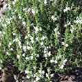 Outsidepride Winter Savory