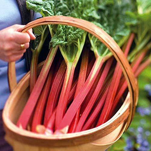 NIKA SEEDS - Vegetable Rhubarb - 25 Seeds