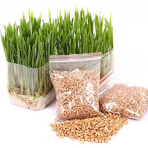 Wingbind Graines d'herbe de Chat pour Grandir, Graines d'usine de Graine d'herbe de blé Biologique de Jardin Maison Sac de graines de blé (800 ou Plus)