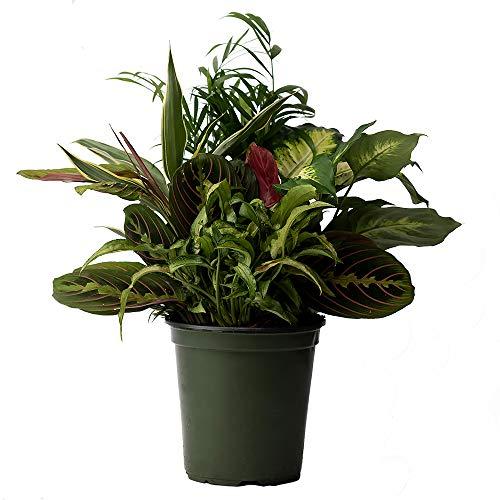 American Plant Exchange Dish Garden Assorted Foliage Live Plant, 6