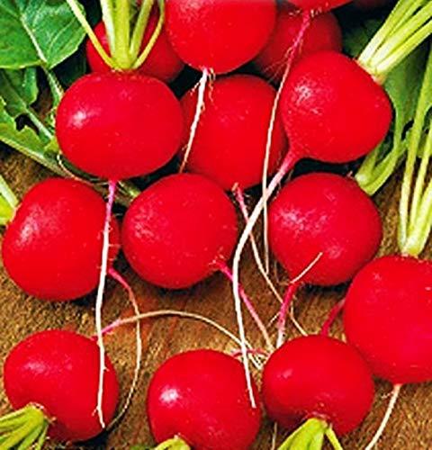 2 graines de radis sel sax - fruits - radis - raphanus sativus - les meilleures graines de plantes - fleurs légumes - rare - idée cadeau originale - 840 graines environ red comet