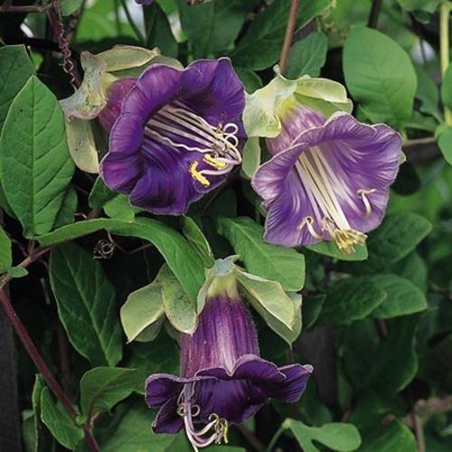 AIMADO Samen-Rarität 20 Pcs Rankende Glockenrebe Blumensamen Cobaea scandens violett-blauen Glockenblüten,Sehr schnell wachsender Ranker für Zäune Kübel Balkonkästen