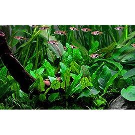 Tropica Cryptocoryne wendtii 'Green' Aquariumpflanze