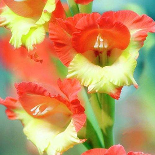 TENGGO Egrow 100 Piezas Gladiolus Flor Semillas Raro Espada Lirio Flores Patio jardín en macetas Planta - 5