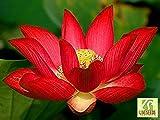Liveseeds - Ciotola di loto / acqua giglio fiore / bonsai Lotus / stagni / 5 semi freschi / Yimeng loto rosso Coltivare Difficoltà Grado: Molto Facile Uso: Indoor / Outdoor Tipo: Piante acquatiche Funzione: purificazione dell'aria
