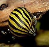 BUY2GET1FREE! Aquatic Discounts – 1 Zebra Nerite Snail – Great Addition to Any Freshwater Tank! Active Algae Eater! Consumer of Bottom Debris and uneaten Fish Food! Perfect Tank Mate for Bettas Guppy