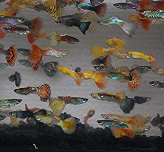 Quinn's Fins- Male Assorted Guppy 12 Pack