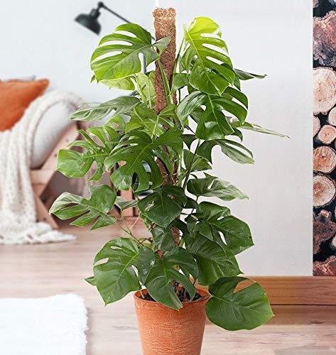 Portal Cool Las semillas 100pcs Monstera Deliciosa jardín de bonsáis tortuga hojas Ãrbol de la planta de queso