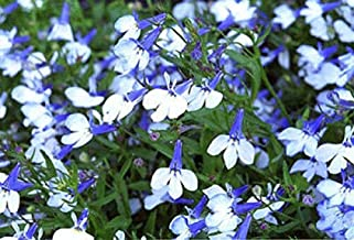 HOT!! - 200 Sky Blue Lobelia Regatta Erinus Flower Seeds