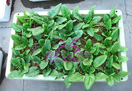 50 graines / paquet de graines de légumes balcon bonsaï semences d'épinards Big feuilles d'épinards