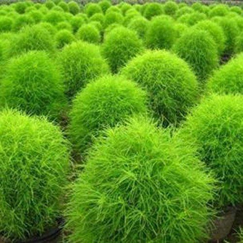 Cioler 200pcs Sommerzypresse Samen Ziergras Saatgut Kochia scoparia Zierpflanze für Garten Bodendecker Winterhart Mehrjährig