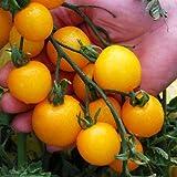 Tomato Plants - Tumbling Tom Yellow - 6 x Plug Plant Pack