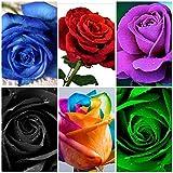 ALEXI Rose Se-EDS - Roses Se-Ed for Planting Outdoors - Hybrid Rare Rose Se-EDS