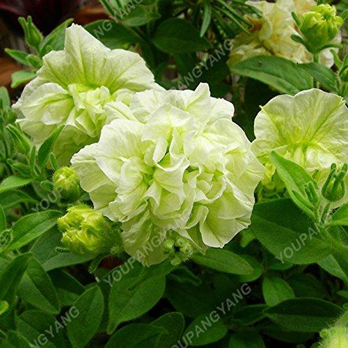 100pcs Petunia Seeds Four Seasons peut être planté 25 sortes de couleurs Pétunia Graines de fleurs Bonsai pour le bricolage jardin Plantation Violet