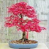 10 semillas de arce japonés rojo Acer palmatum atropurpureum Bonsai Arce CombSH