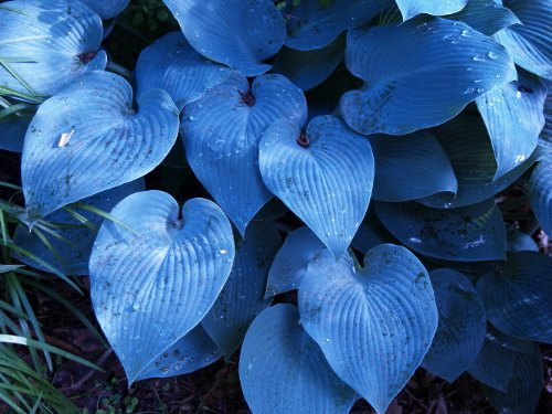 Hosta 'Halcyon', Gorgeous Medium Size Deep Green/Blue, 1 Quart Pot Size, Ships Bare-Root