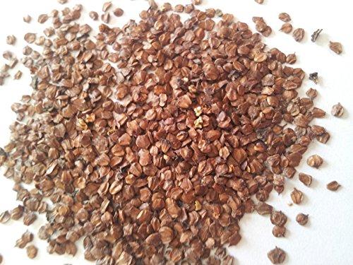 Portal Cool Alnus Glutinosa, ontano nero, 15 Semi, semi Bonsai, Seed