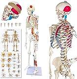 AMITD Squelette Modèle Squelette Anatomique 85CM Hauteur, pour l'enseignement Médical,Les Cliniques Hospitalières