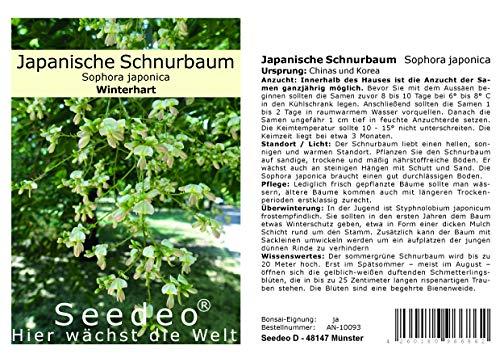 Seedeo® Japanische Schnurbaum (Sophora japonica) 30 Samen