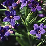Genuine Plant World Seeds branded packets supplied direct from Plant World Seeds UK Common Name: Lithospermum purpurocaeruleum, Purple Gromwell Height: 15-25cm Packet content (approximately): 15+ Sprays of dazzling deep blue stars appear on springy p...