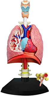TEDCO 4D Respiratory System Model