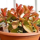 Aamish 40 piezas de semillas de plantas Kalanchoe Sexangularis