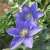 2 piezas de bulbos de clemátide hermosas flores azules para la plantación de jardines al aire libre Adaptabilidad fuerte Cuidado fácil Jardineros principiantes adecuados