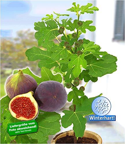 """BALDUR-Garten Frucht-Feige""""Rouge de Bordeaux"""" groß, 1 Pflanze Ficus carica Feigenbaum winterhart"""