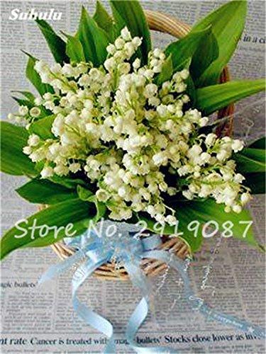 50 Pcs Campanula Graines rares Fleur Plante en pot Couleurs mélangées 95% Taux de bourgeonnement vivaces Plantes Bonsai Maison et Jardin 6