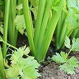 200 Pezzi Semi Di Sedano Verdure Raccolte Verdure Verdi Fresche Seme Cimelio Non OGM Per Piantare Cortile Adatto Per Principianti