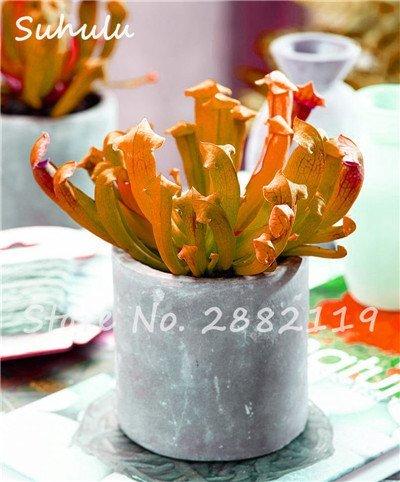 60 Pcs vivaces Nepenthes Seeds Carnivores Venus Fly Trap plus chaud du monde des plantes Graines Bonsai Garden Seed Color Mix Livraison gratuite 12