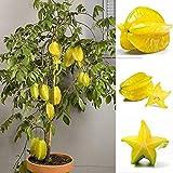 Potato001 50Pcs Thai Star Fruit Graines Juicy Carambole arbres exotiques semences à haut Germination