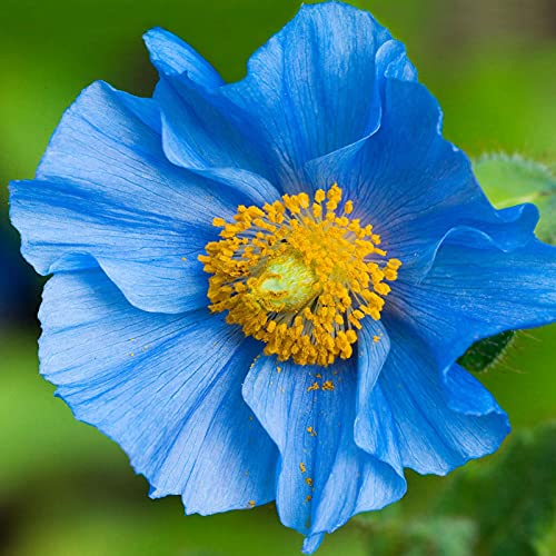 C-LARSS 100 Stück/Beutel Mohn Samen, Hardy Seltene Pflanzen Blue Petal Indoor Outdoor Aussaat Blumensamen Für Zu Hause Blau