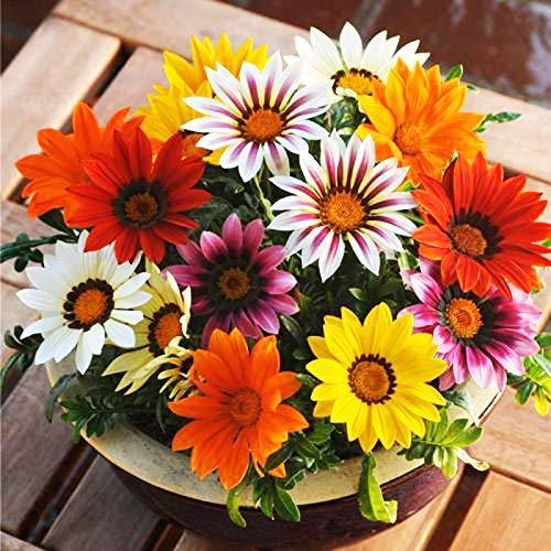 Gazania Hybrida Treasure Mix Bunte Blumensamen 30+ Chrysanthemenblume Schöne Pflanze Blume für Hausgarten Yards Pflanzen