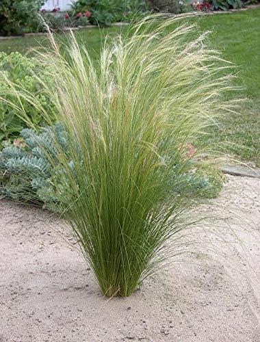3 x Stipa tenuissima 'Pony Tails' 1 Liter (Ziergras/Gräser/Stauden) Federgras Engelshaargras