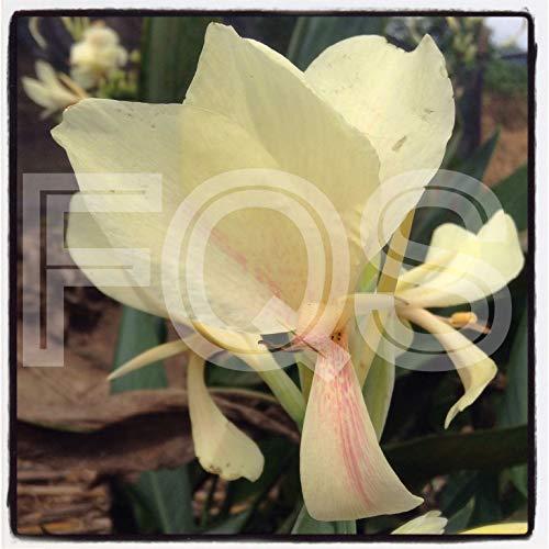 Portal Cool 15 X Tropical Canna Samen Sahne Blume Rosa Splash
